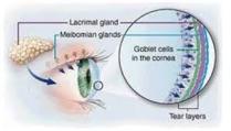 Ghiandole e cellule che producono la lacrima